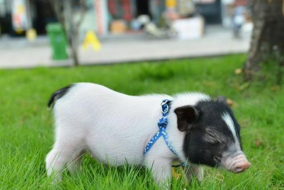 女子乘火车带小香猪回家过年,称猪是我的孩子,过安检被拦下!