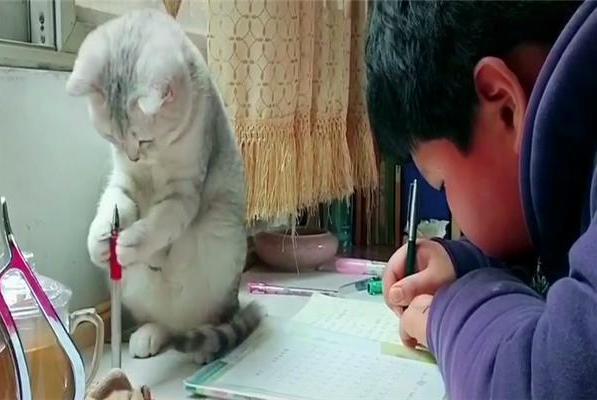 """银渐层把玩小主人的红水笔,双手捧笔的架势,还以为要涂""""口红"""""""