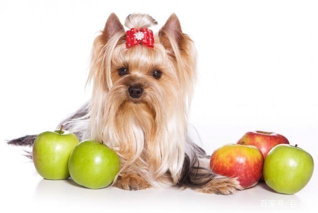 一天一苹果,医生远离我,喂狗狗吃苹果就可以让宠物医生失业吗