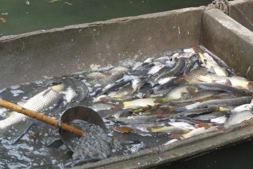 """这种鱼在古代皇家御用,如今却被大家""""误解"""",3元一斤卖不掉"""