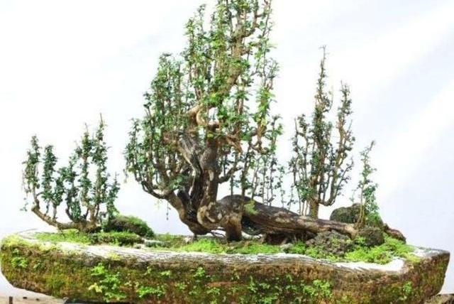 大师专栏I 刘传刚博兰盆景系列之四——《雨林式盆景篇》