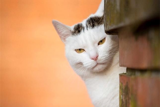 猫咪走失之后十有八九回不来,大家知道这是为什么吗