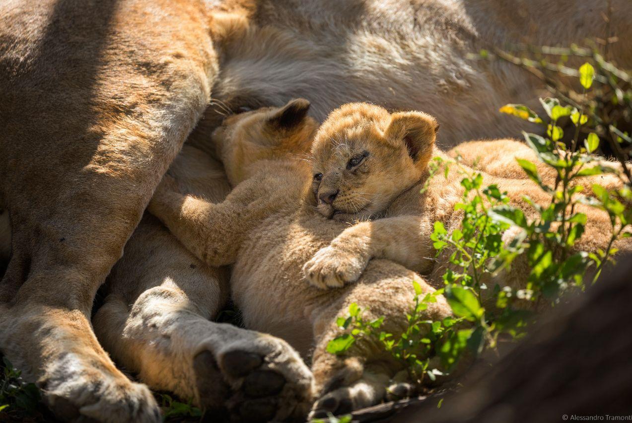 小狮子可随意吸取狮群中每只母狮的乳汁?事实上母狮也很无奈