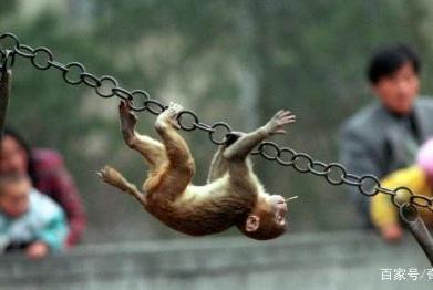 中美科学家给猴子植入人类基因 猴子会变成人吗?