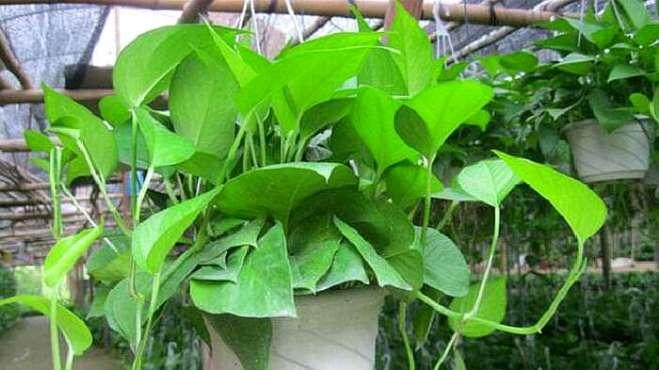 最厉害的养花营养液:只要给绿萝喝一勺,叶子油绿猛蹿个!