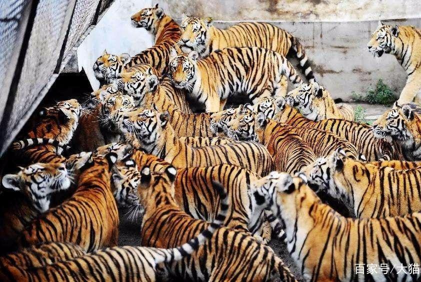 圈养东北虎有数千只,为何还不进行野放?看下这些难题就知道了