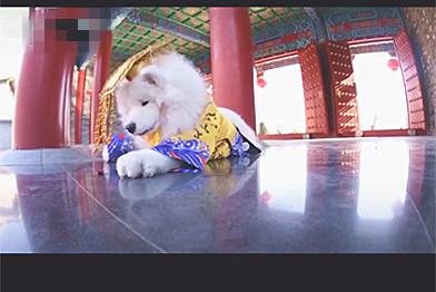 主人带狗去拍照,摄影师:别低头皇冠会掉!主人:不听话,掉了吧