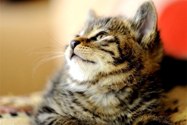 猫咪太胖会影响健康,那多胖算肥胖呢,并不是长的大就是胖