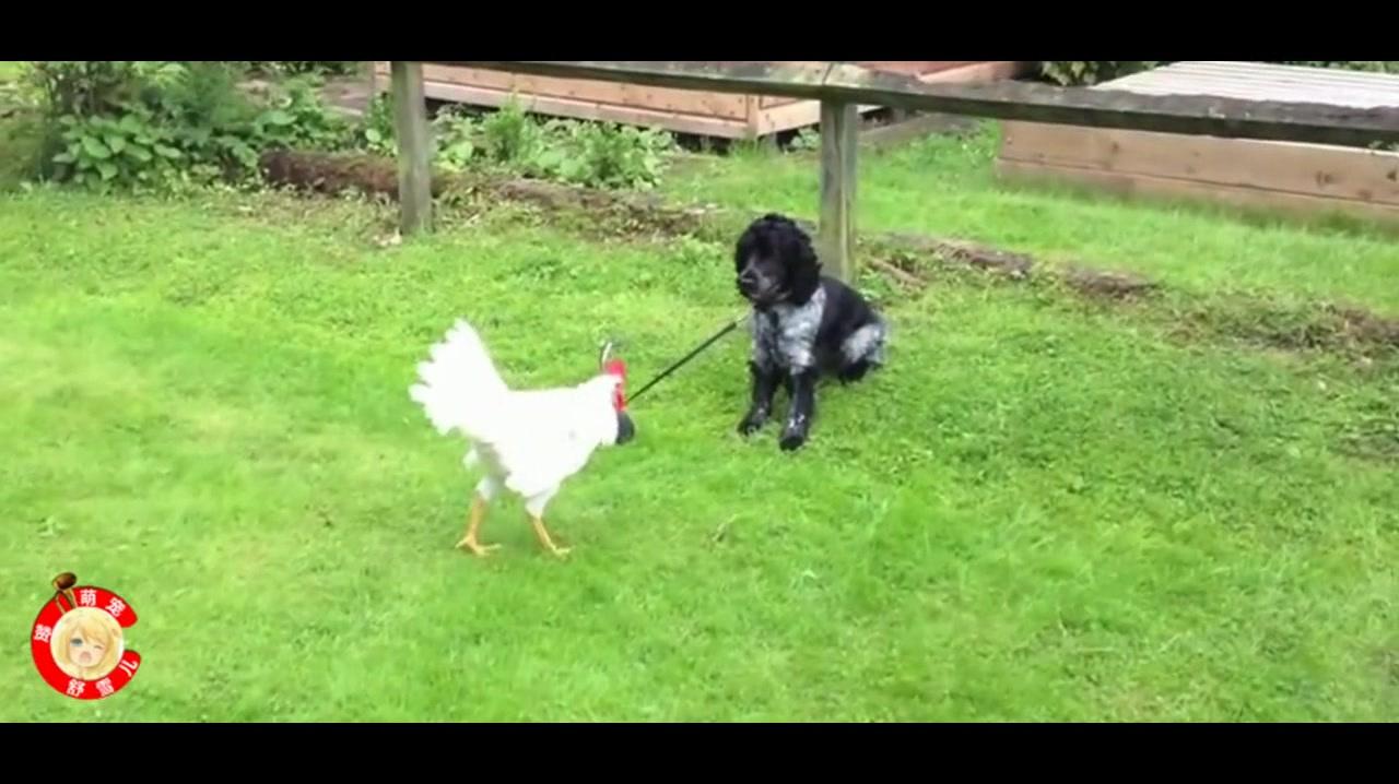 斗鸡争雄:狗狗被绳子拴住,还敢惹公鸡发飙,这下可惨了