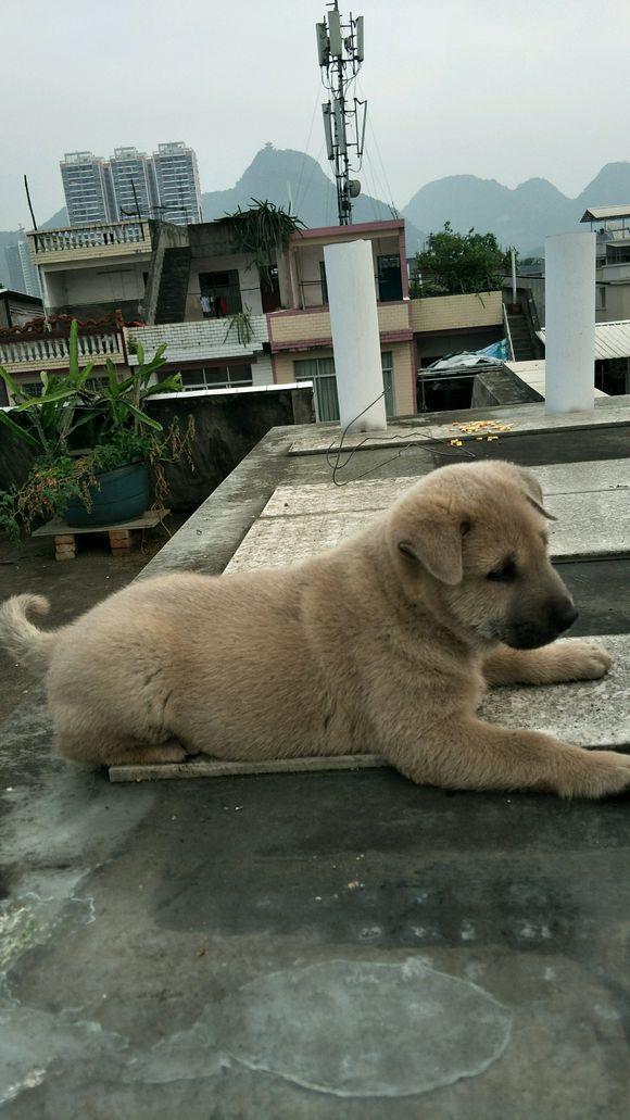 主人把小狗抱到楼顶给它吃棒子粒,土狗:不吃!