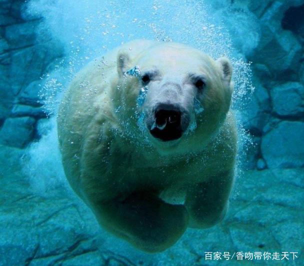 北极熊,陆地上最大的健将食肉动物,世界v陆地还是长颈鹿科普知识资料大全图片
