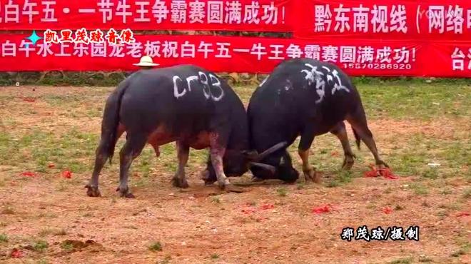 云南牛王擎天�z/��.�_2017贵州牛王争霸 云南牛王真厉害,把麻江牛王抠的
