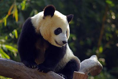 广州:熊猫的n个表情,真的是可爱极了,很喜欢