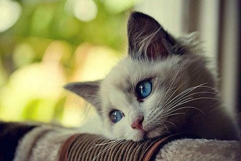 布偶猫爱好者请举手,收下这波超萌的治愈系美照!