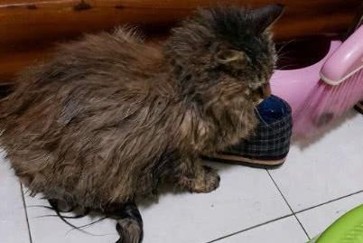 流浪猫认错主人,在雨天跟着网友回家,住了一晚后悄无声息的离开