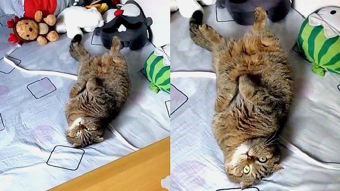主人刚做完饭,猫咪闻到饭菜香立马翻肚子讨吃的,萌翻了!