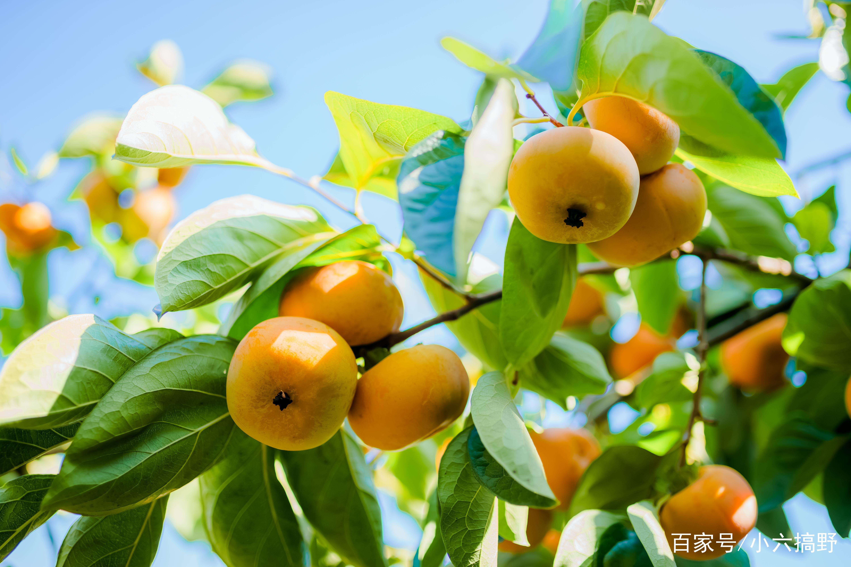 绿叶丛中挂着一串串金黄色的柿子.