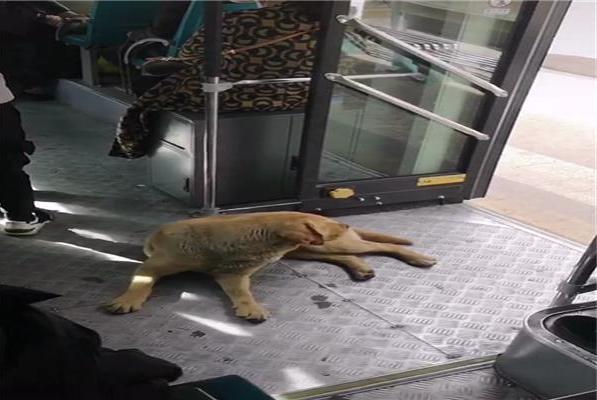 拉布拉多独自坐公交,网友以为是走失了,后来才知道它是搭车回家