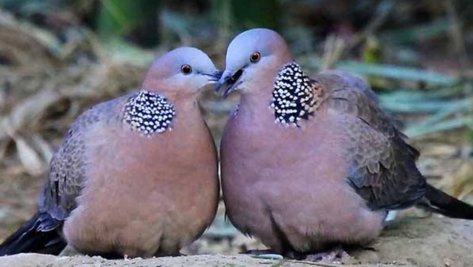 它常被当成鸽子吃,我国仅有5个品种,如今却十分少见!