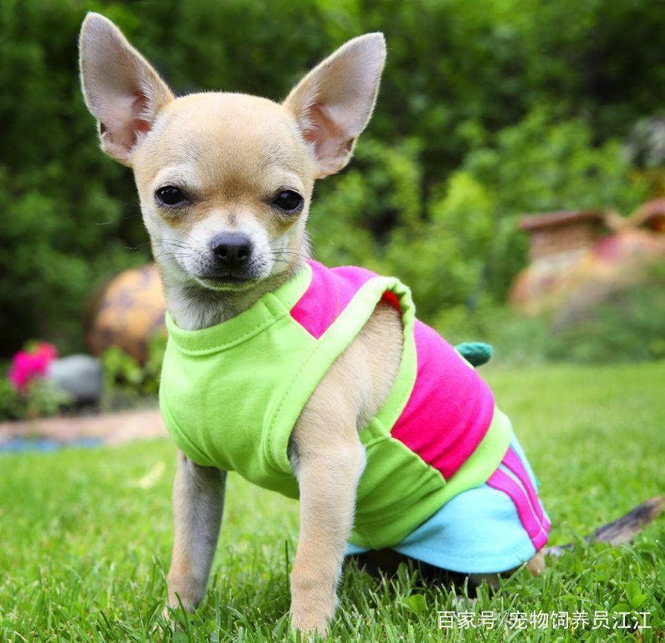 宠物犬:小巧可爱的吉娃娃,体态娇小爱撒娇,萌萌的好