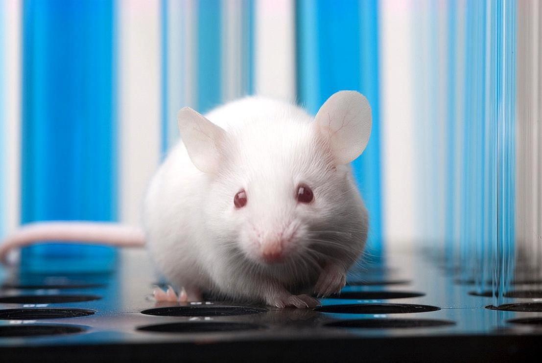 科学家发明新技术,能让小鼠获得夜视能力,未来或能用到人类身上