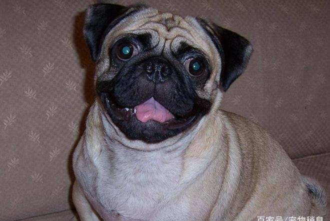 """为什么长相""""奇葩""""的巴哥犬越来越受欢迎?宠主:因为它优点多"""