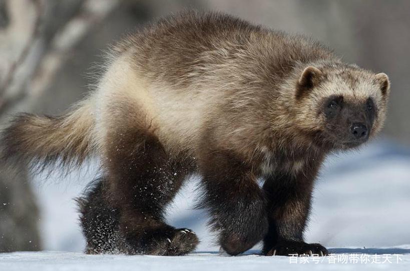 野外数量稀少,是国家一级保护动物.