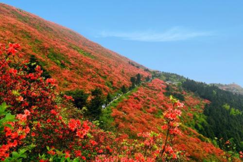 丹寨杜鵑花節帶你領略別樣的春天