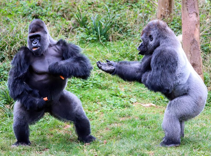 在英国德文郡佩恩顿动物园的放饭时间,两头饥饿的大猩猩看起来为食物陷入了争吵。  西部低地大猩猩NDowe被拍到走到另一头大猩猩Kivu身边,向它伸出手,好像是在要求Kivu将自己的食物交出来。  尽管是种群里最强的大猩猩,但似乎并不是所有的事情都能如了NDowe的意。  一番交流后,猩猩Kivu拒绝分享自己的食物,而NDowe只好选择放弃,稍显沮丧地转向饲养员去求要一些西红柿来吃。一名动物园的游客拍下了这组搞笑的照片。