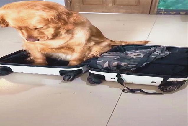 主人外出旅游,金毛却坐在行李箱中不肯出来,幽怨的小眼神好可爱