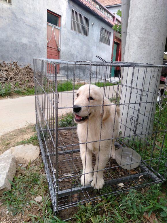 金毛莫名就被关在笼子里去了,铲屎的是不要我了么?