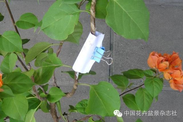 爱木盆景I 三角梅纸巾高压法,盆景桩1棵变10棵的好办法