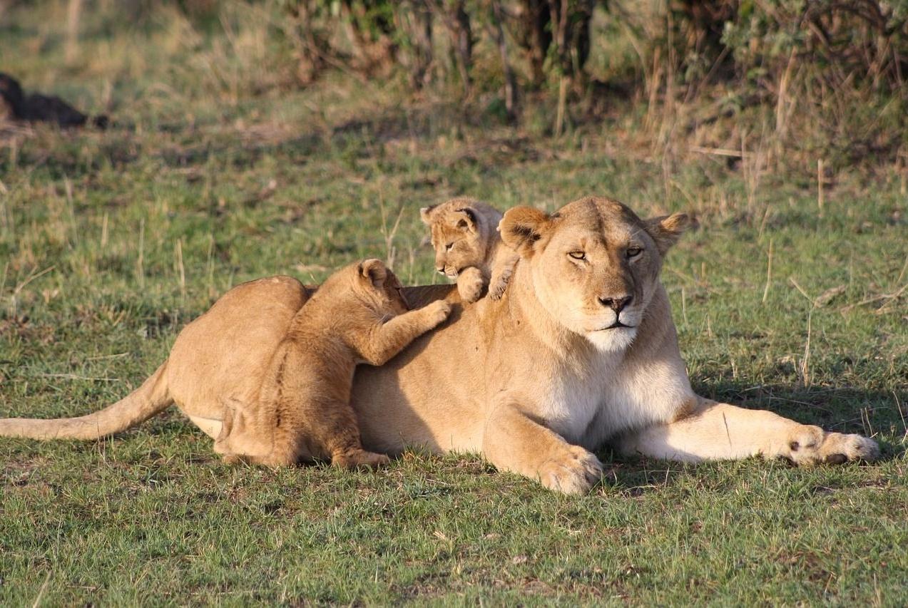 母狮带着2只小狮子第一次见爸爸,刚刚睡醒的雄狮一脸懵