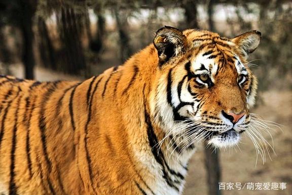 野生华南虎灭绝了吗,野生华南虎最新消息带来了希望!