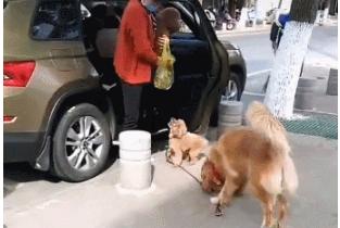 泰迪见了小母狗就不走了,金毛把它直接拽走:回家,别跟陌生狗玩