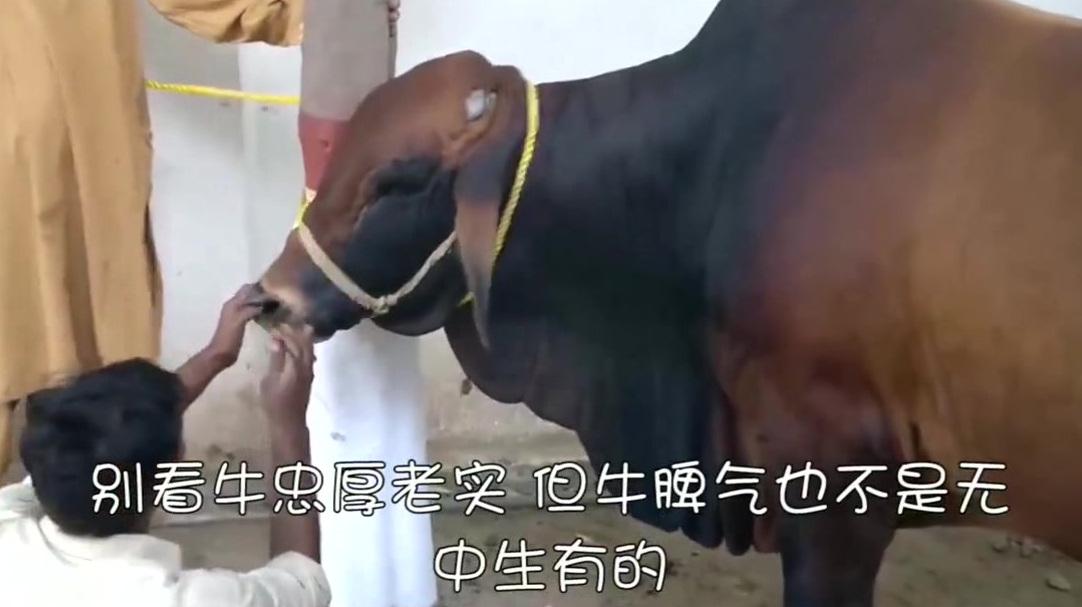 为啥穿牛鼻子要趁牛小的时候?这牛脾气一上来谁控制得了?