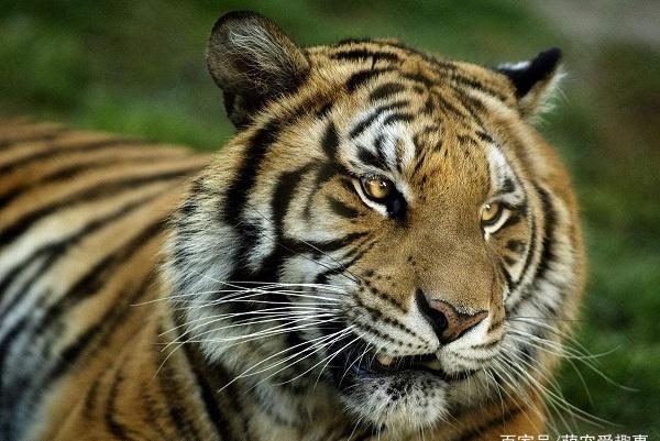 公棕熊是东北虎的天敌吗,棕熊和东北虎的战斗力谁更强!