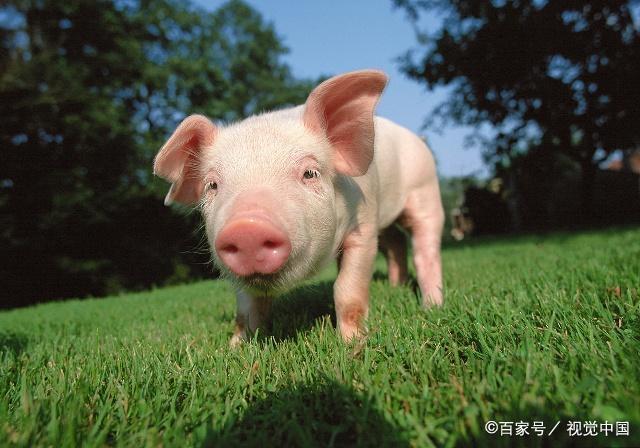 pig是指猪,pig out是什么意思呢?