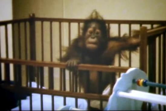 一只上过大学的猩猩试图成为人类,但现实给了它一记重锤