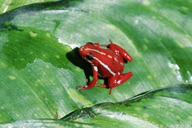 十个冷知识!并不是所有的毒箭蛙都有毒!