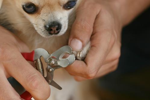 狗狗指甲受伤了,应该怎么处理?按以下步骤照做就行
