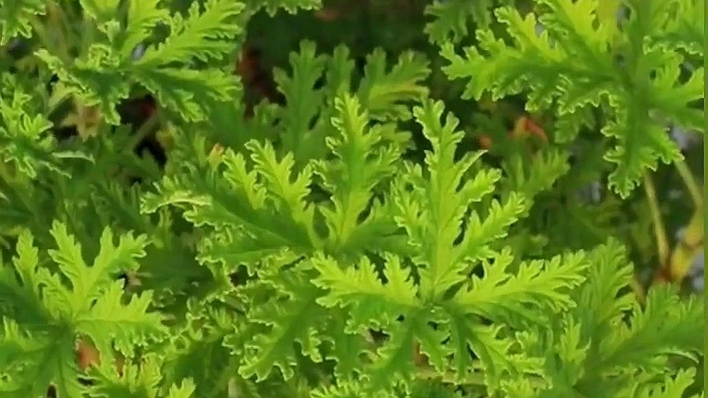 驱蚊草到底有驱蚊作用吗?实践证明给你看,家庭种植有作用嘛?