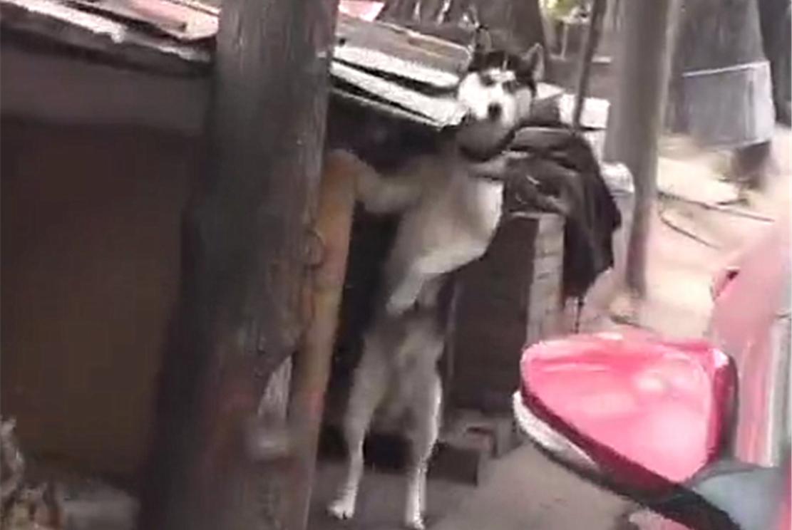 二哈被寄养,主人回来时二哈翘首远望,狗:你咋才回来……
