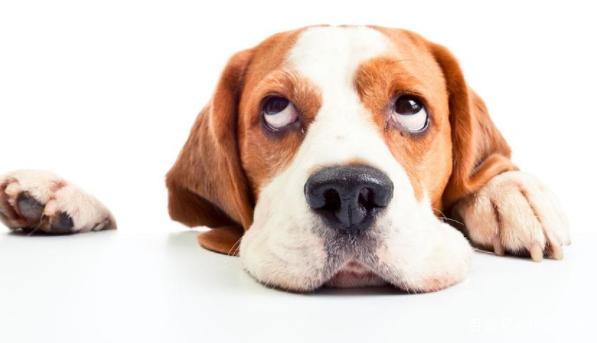 宠物狗一直流口水,你知道吗?图片