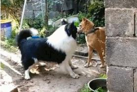 边牧和田园犬打架,被拴着的田园犬:把我链子松开试试!