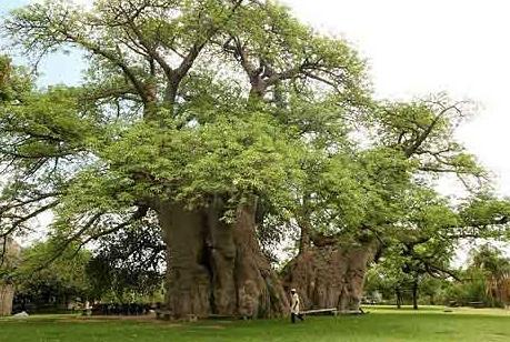 """非洲有棵直径20米的树,活了6000年还被""""掏空"""",还被弄成了酒吧"""