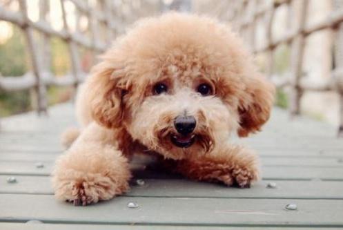 泰迪犬想念你的5种行为,一旦出现两种以上,证明你是它的全世界