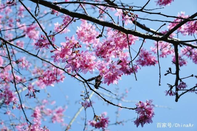 2019年最新阿里山花季时间、赏樱路线、阿里山景观民宿推荐 推荐 第2张