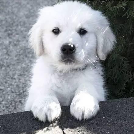 金毛为自己选好了地方,它才三个月就走了,以后不再养狗