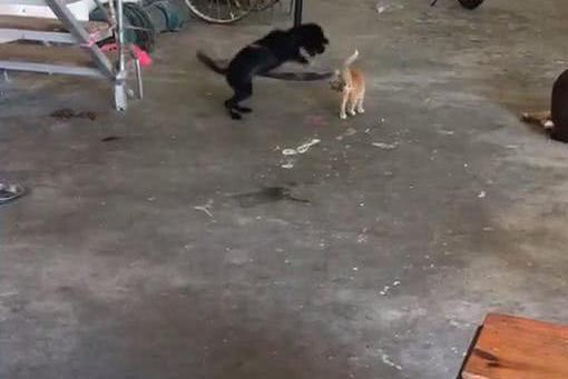 拴住的狗对着猫大叫,猫躺在地上静静的看着狗,猫:有本事你就来
